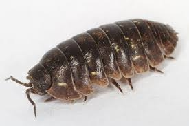 Personal view: Pill bugs the most underrated creatures