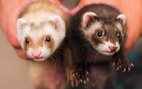 Ferrets are third most popular pet