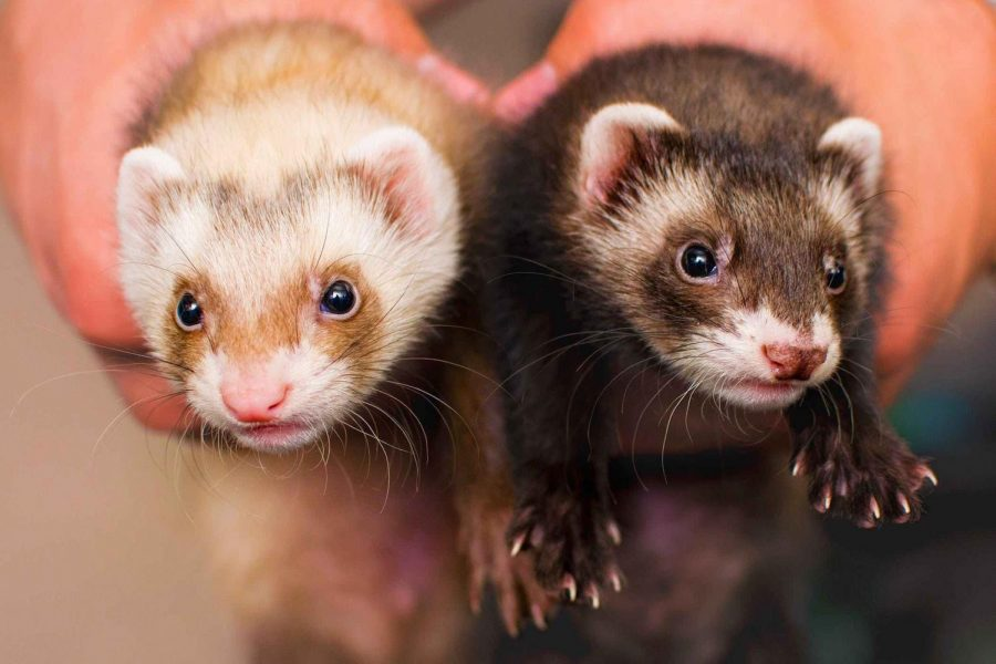 Ferrets+are+third+most+popular+pet